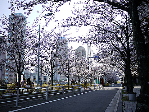 中央区¥新川の桜